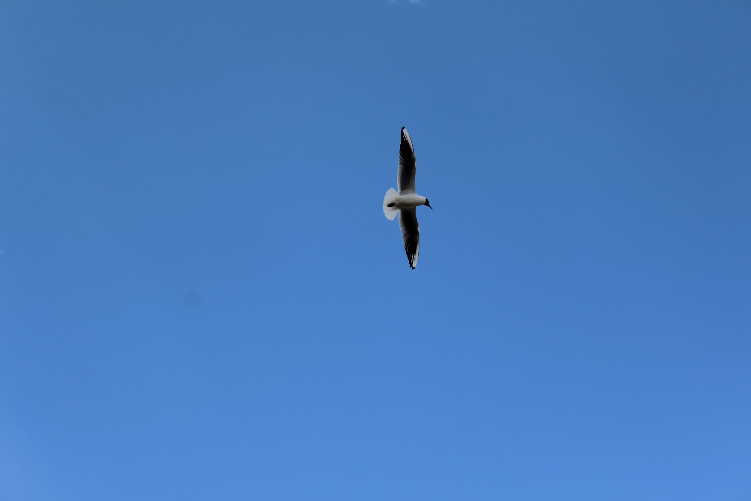 seagull in the sky Image