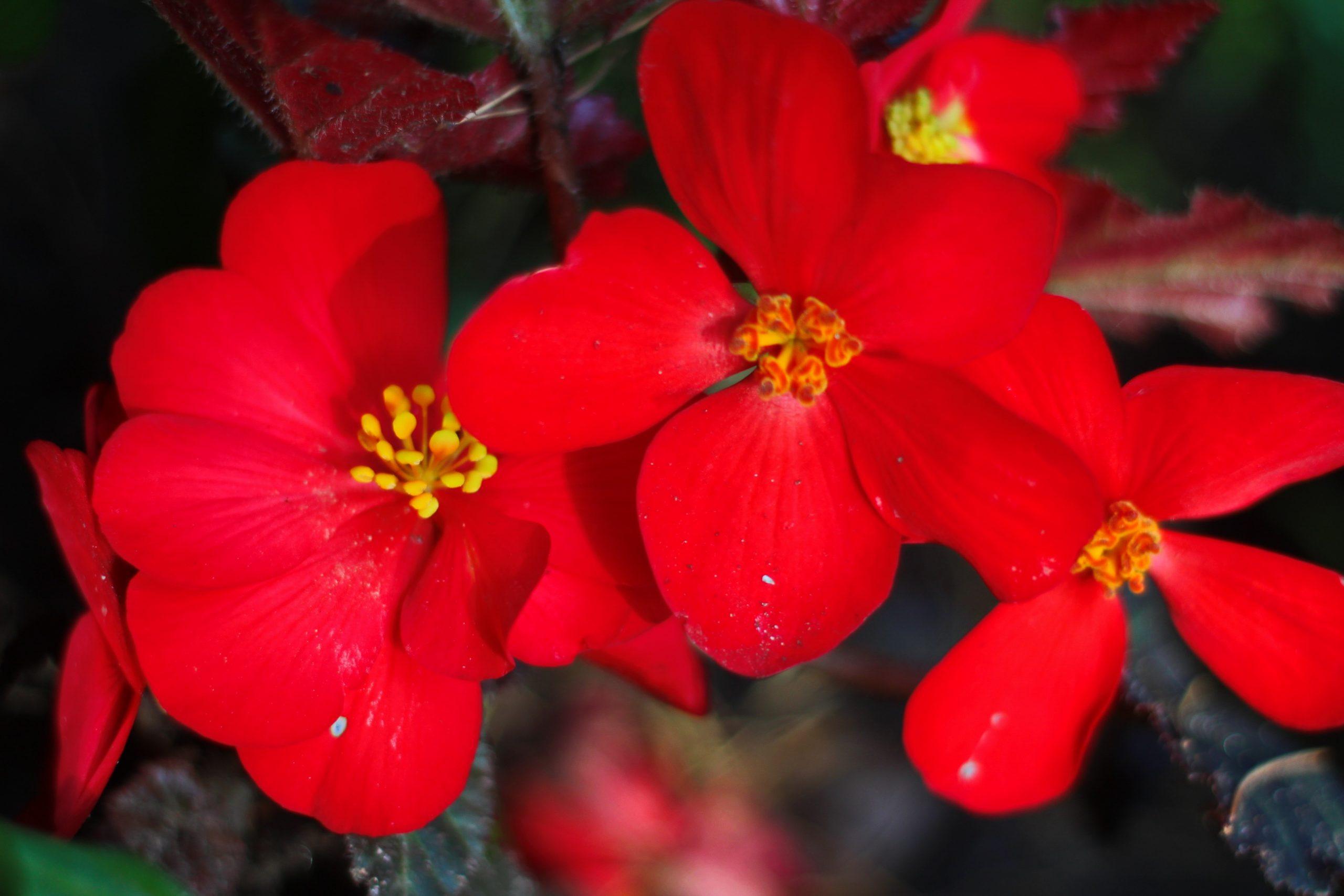 Begonia Ambassador Image