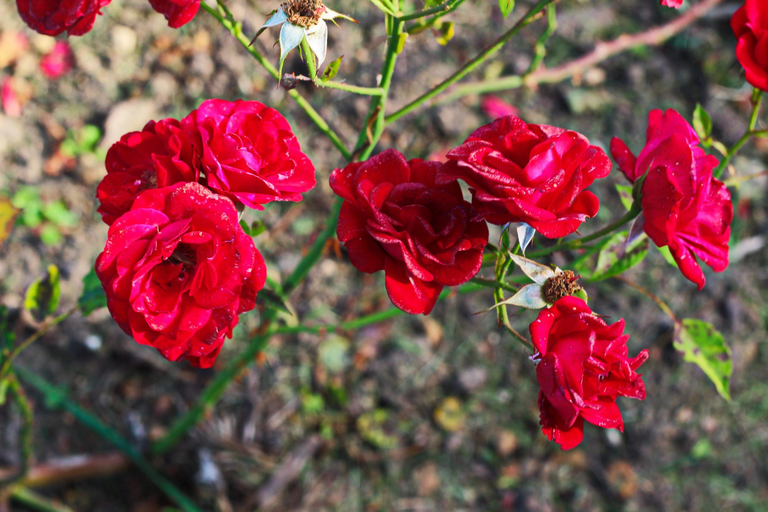 """Red Rose """"Lichterloh"""" Image"""