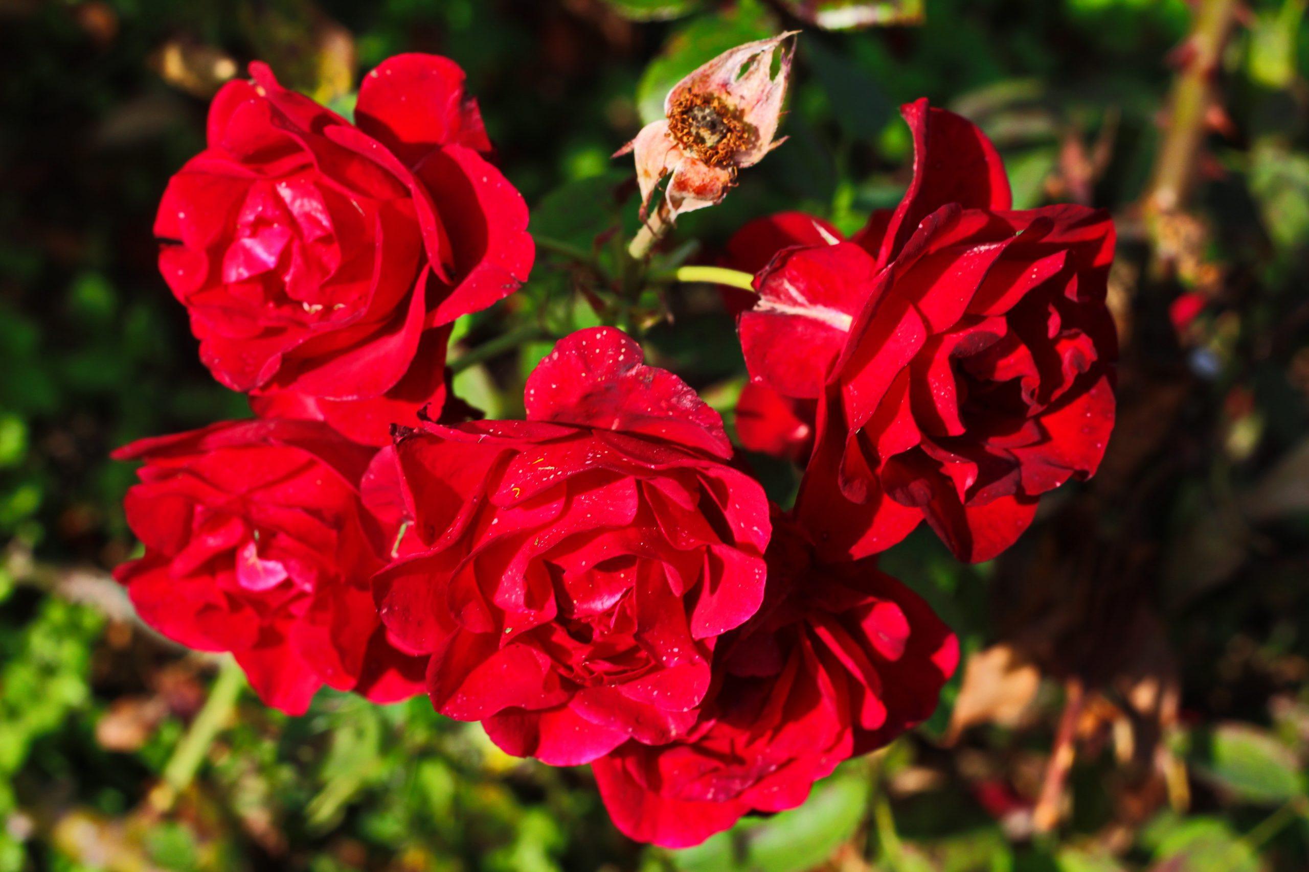 "Red Rose ""Coral Dawn"" Image"