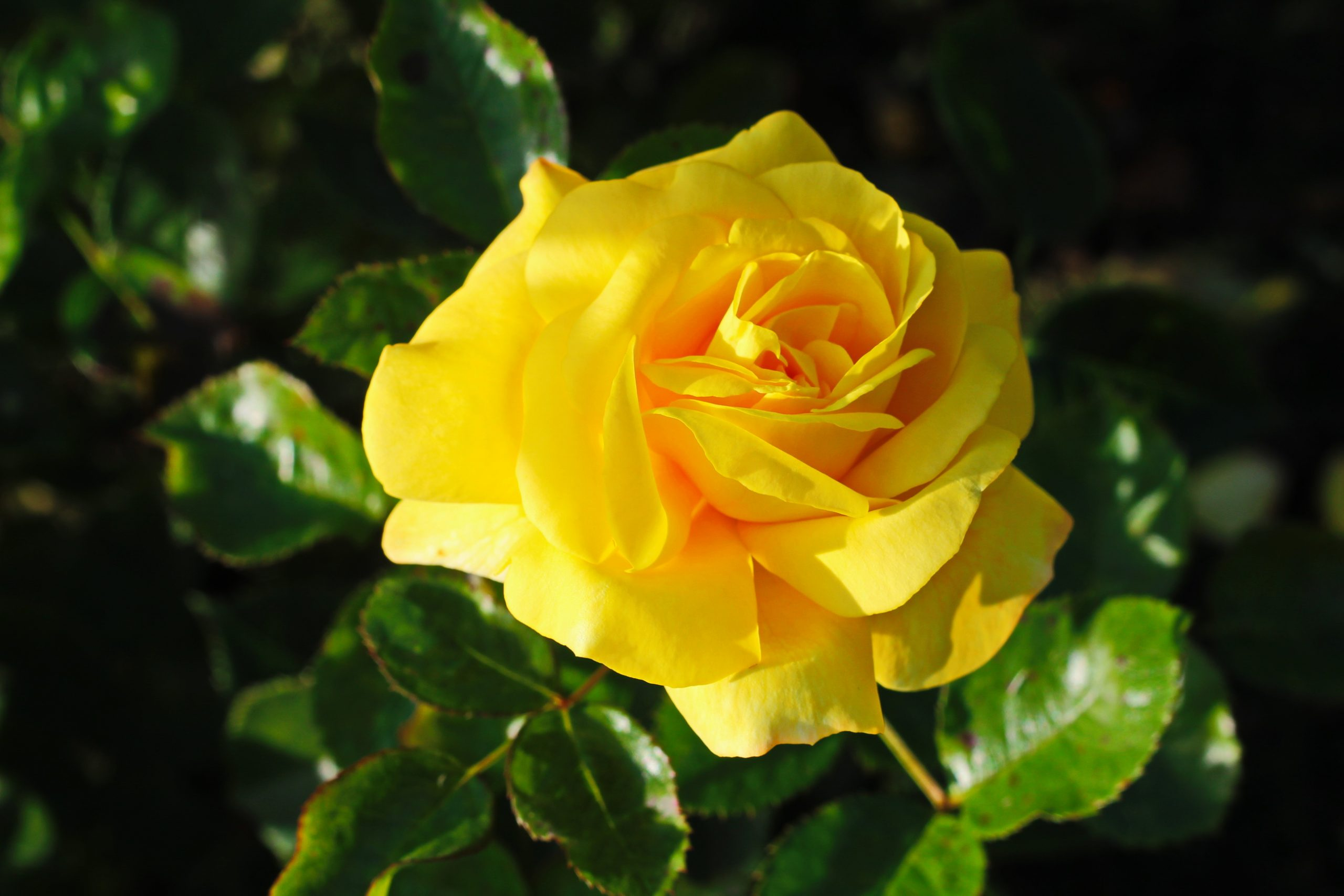 """Rose yellow """"Duftgold"""" Image"""