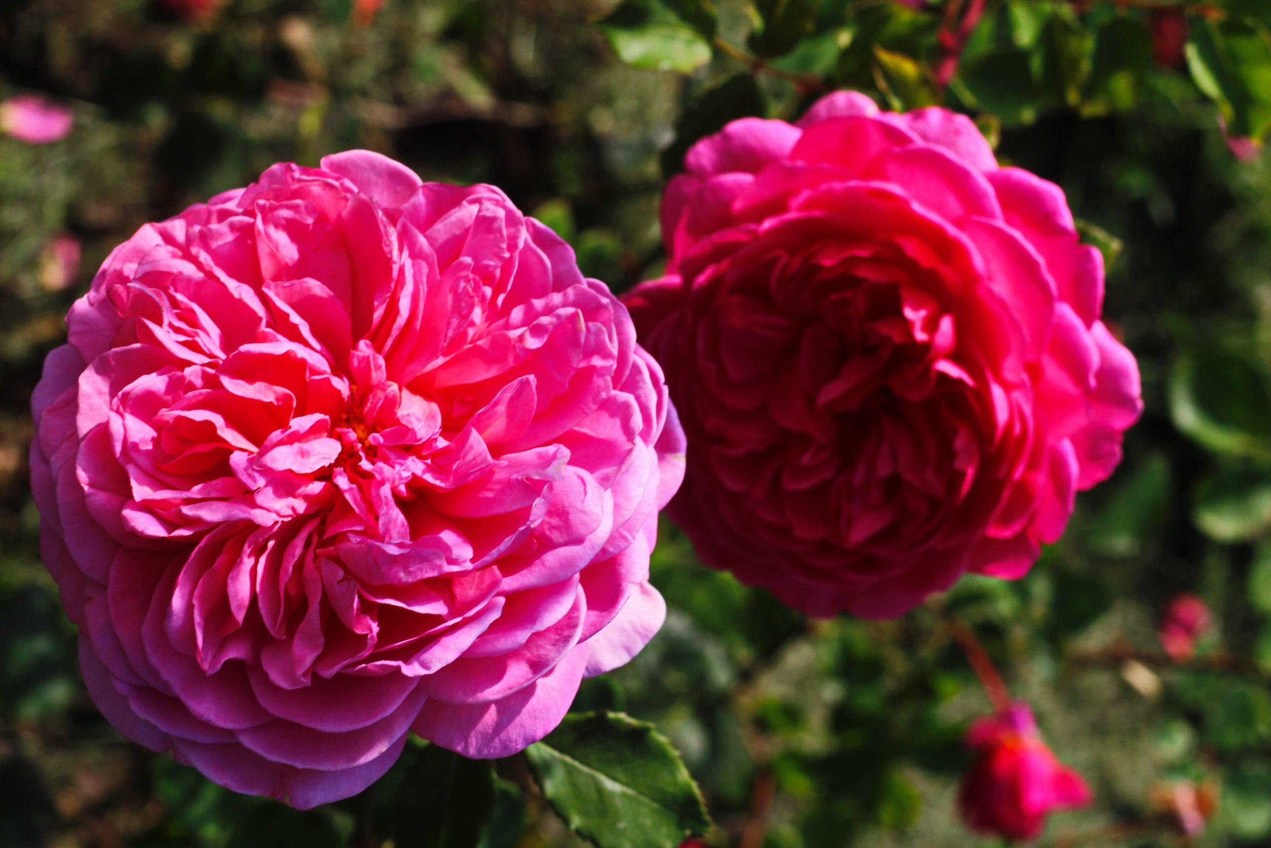 """Pink Rose """"Princess Alexandra of Kent"""" Image"""
