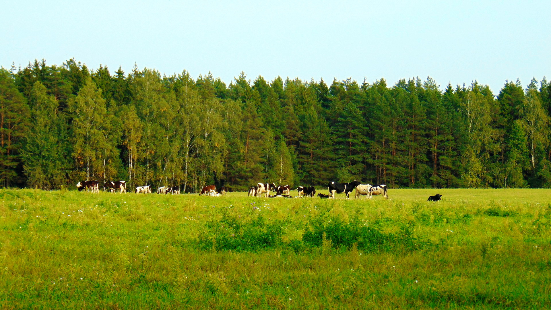 field with cows Image