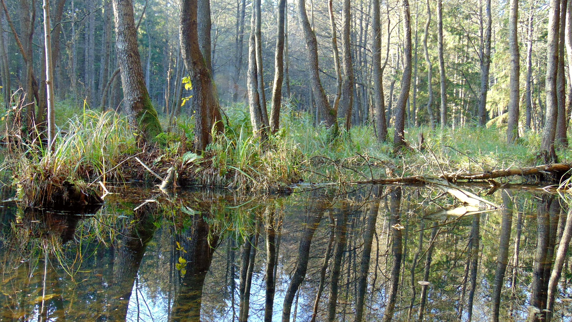 Swamp in the forest Image